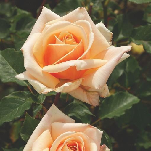 Rosa 'Diamond Jubilee' (Lakei Boomkwekerijen)