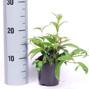 Aeschynanthus marmoratus (Van der Arend Tropical Plantcenter)