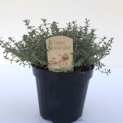 Thymus x citriodorus 'Silver Queen' (Green Collect Sales)