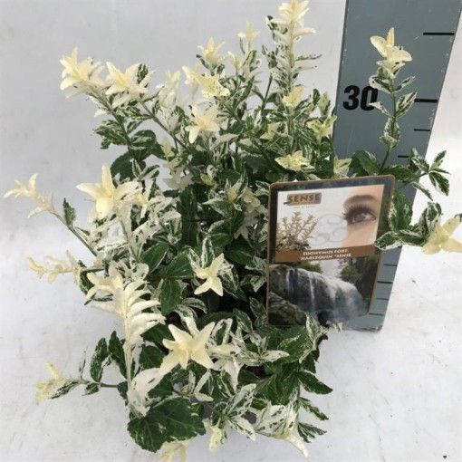 Euonymus fortunei 'Harlequin' (Asra Plant)