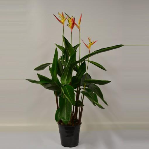 Heliconia psittacorum HAWAI (Glorious Gloriosa)