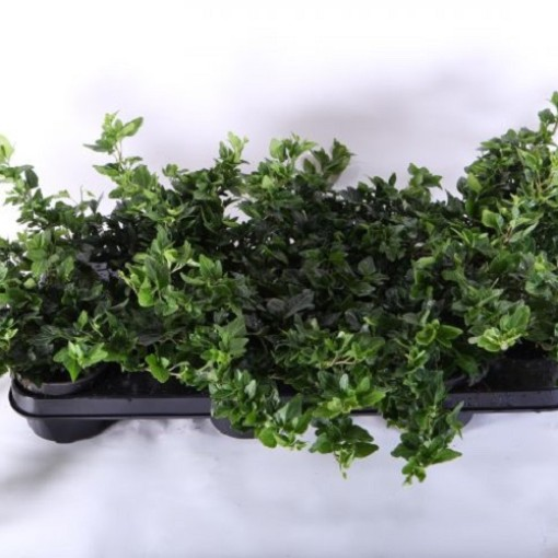 Hedera helix 'Shamrock' (Experts in Green)
