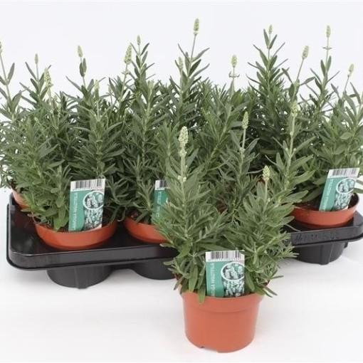 Lavandula angustifolia 'Ellagance Ice' (Gebr. Grootscholten)