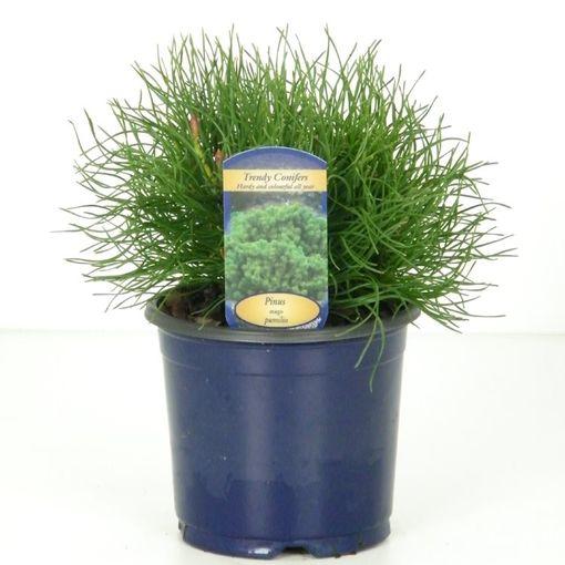 Pinus mugo pumilio (Kwekerij Vredebest)