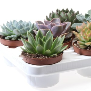 Succulents MIX (Eurocactus)
