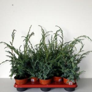 Juniperus chinensis 'Blue Alps' (Boomkwekerij Potcultuur Gebr. Rademaker)