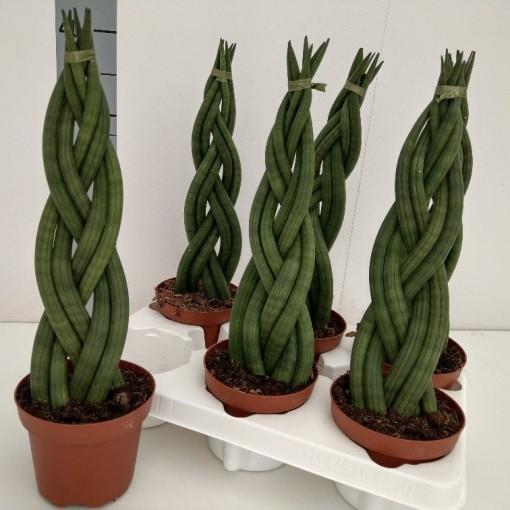 Sansevieria cylindrica 'Braid' (RuBa Baers)