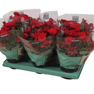 Begonia BALADIN (J&P Ten Have BV)