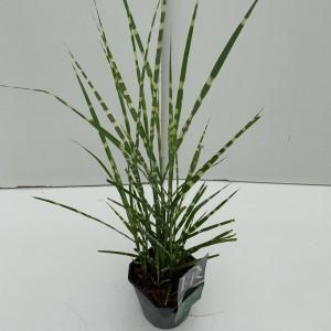 Miscanthus sinensis 'Strictus' (Cammeraat Potcultuur)