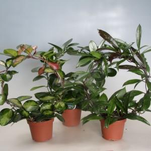 Hoya carnosa MIX (Gasa DK)