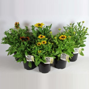 Rudbeckia SMILEYZ MIX