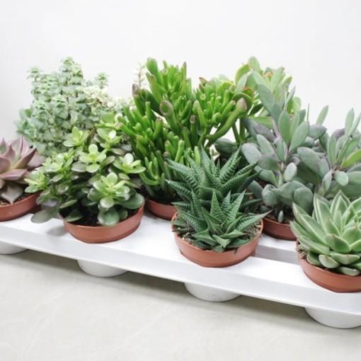 Succulents MIX (Ubink)