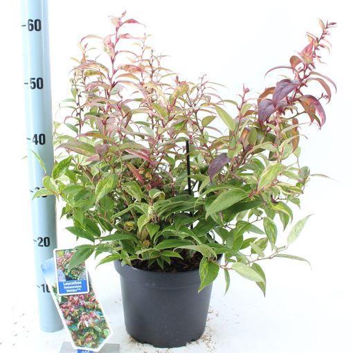 Leucothoe fontanesiana 'Makijaz' (About Plants Zundert BV)