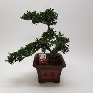 Ilex crenata (M&M Garden)