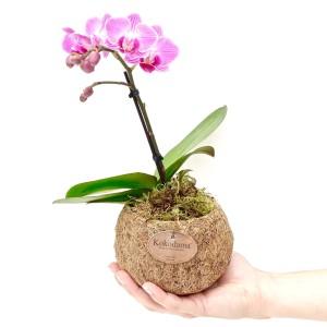 Phalaenopsis MIX (Kokodama)