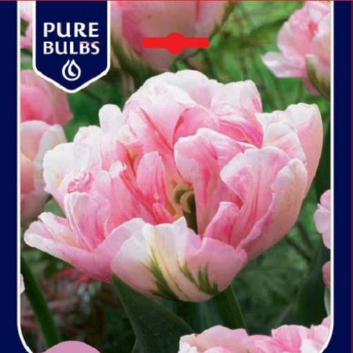 Tulipa 'Finola' (Bosrand, Kwekerij de)