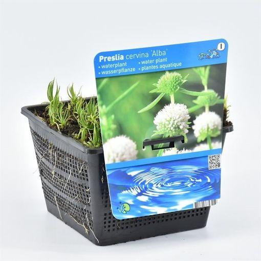 Mentha cervina 'Alba' (Moerings Waterplanten)