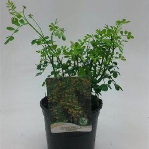 Coronilla emerus (WTM de Boer)