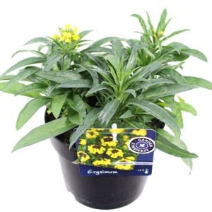 Erysimum 'Yellow Bird' (Kwekerij de Noordpoel)