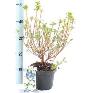 Rhododendron 'Hisako' (About Plants Zundert BV)