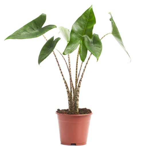 Alocasia zebrina (Ichtus Flowers)