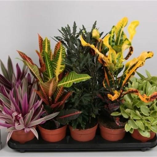 Houseplants MIX (van der Velden, Hkw.)