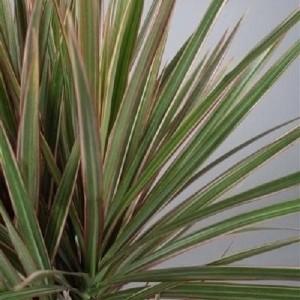 Dracaena marginata 'Bicolor' (JoGrow B.V.)