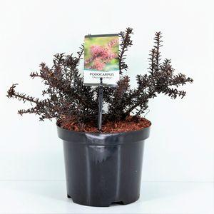 Podocarpus 'Chocolate Box'