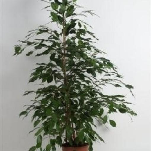 Ficus benjamina 'Exotica' (BK Plant)