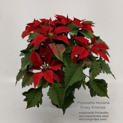 Euphorbia pulcherrima HOVARIA KRAZY KRIZMAZ (Hofstede Hovaria)