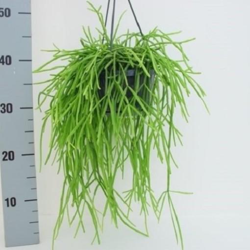 Rhipsalis kirbergii (van der Hoorn Succulenten)