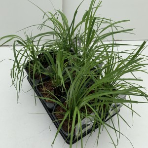 Cortaderia selloana MIX