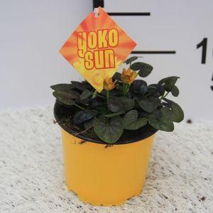 Ranunculus ficaria 'Yoko Sun' (Experts in Green)