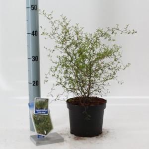 Sophora 'Little Baby' (About Plants Zundert BV)