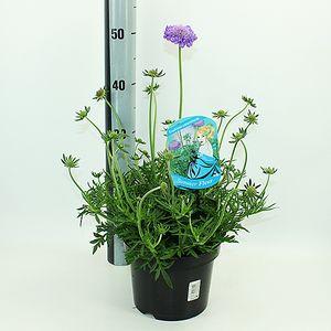 Scabiosa columbaria 'Mariposa Blue' (Experts in Green)