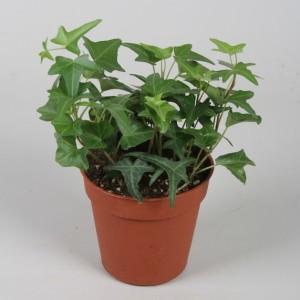 Hedera helix 'Sagittifolia' (Vireõ Plant Sales)