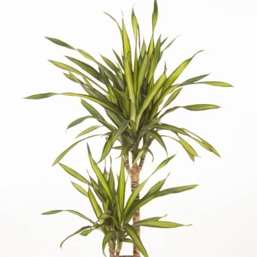 Dracaena fragrans RIKI (Ammerlaan, The Green Innovater)