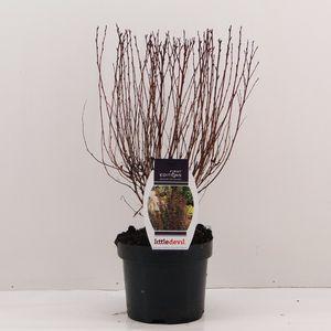 Physocarpus opulifolius LITTLE DEVIL