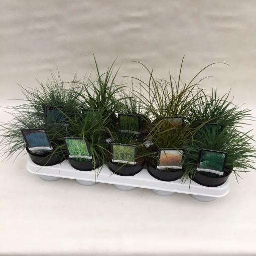 Grasses  MIX (Liesvelden Kwekerij)