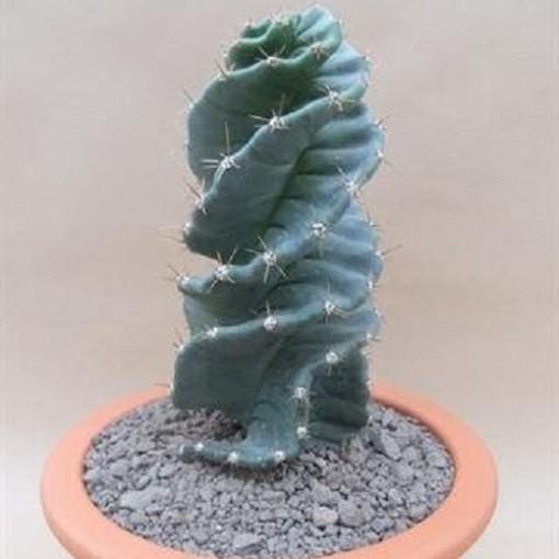 Cereus jamacaru 'Spiralis' (John De Wilde bvba)