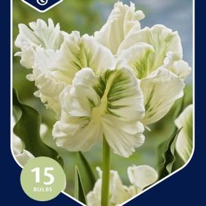 Tulipa 'Witte Rebel'