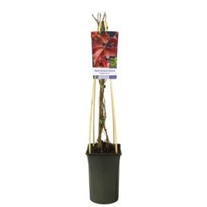 Parthenocissus quinquefolia engelmannii (Van Der Starre BV)