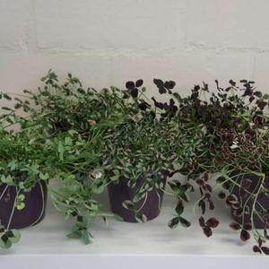 Trifolium repens MIX (Plantcare BVBA)