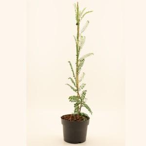 Sophora microphylla SUN KING