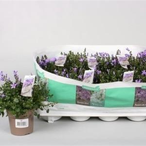 Campanula portenschlagiana AMBELLA PURPLE (Endhoven Flowering Plants)