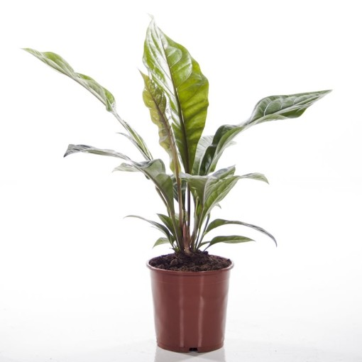 Anthurium ellipticum JUNGLE BUSH (Ammerlaan, The Green Innovater)