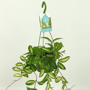 Hoya carnosa 'Rubra' (Elstgeest)