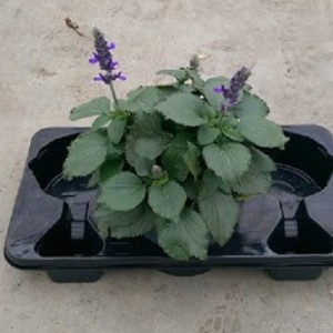 Salvia MYSTIC SPIRES BLUE (Experts in Green)