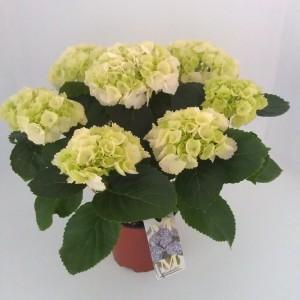 Hydrangea macrophylla 'Schneeball' (Meeslouwer)