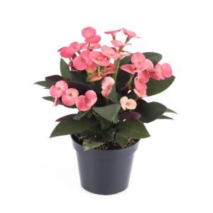 Euphorbia 'Pallas Athene'